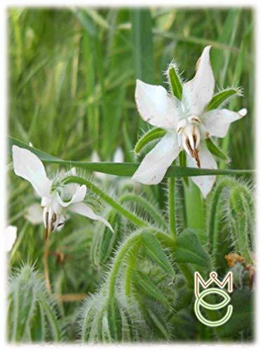 Flor blanca Borraja 2g Borago officinalis Salud Hierbas Semillas Semillas Verduras Huerto
