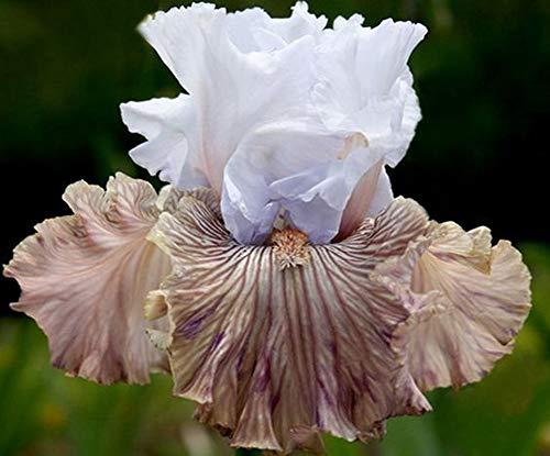Iris Bulbs-Beautiful Special Hardy Fragrant Greening Ornamental Courtyard Garden,3 iris Bulbs