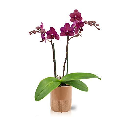 Color Orchids Live Blooming Double Stem Phalaenopsis Orchid Plant in Ceramic Pot, 20' -24' Tall,...
