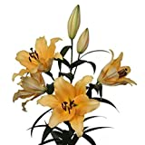 Corcovado Lily - 3 Bulbs