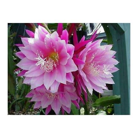 Epiphyllum,Orchid Cactus E PUMILIUM Don/'s Cuttings N//1