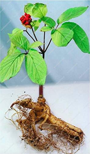 Elitely 10 Stücke Ginseng Samen Seltene Heirloom Kräuter Hausgarten Blume Diy Samen Sementes, Wachsen Sie Ihre Ginseng Wurzeln: Deep Blue
