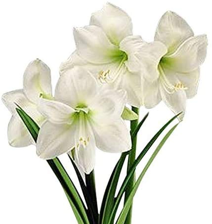 2Pcs Amaryllis Bulb - White Amaryllis Great for Winter Forcing! Unique Gift for The Gardening Lover in Your Life!