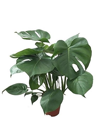 Köstliche Fensterblatt, (Monstera delicosa), pflegeleichte Zimmerpflanze (ca. 75cm hoch, im 19cm Topf)