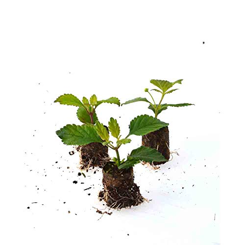 Kräuterpflanzen - Aztekisches Süßkraut/Lippia dulcis - 3 Pflanzen im Wurzelballen