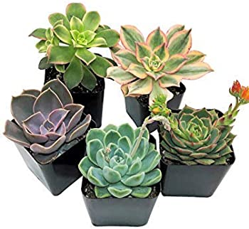 5-Pack Succulent Fully Rooted Selected Plants