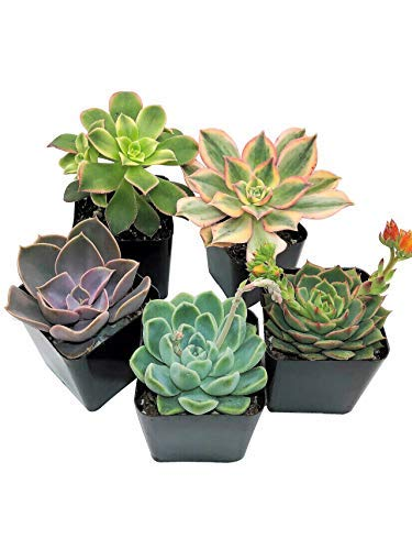 Succulent Plants Live (5 Pack), Fully Rooted Succulents - Unique Indoor Cactus Decor - Random Selected Plants by The Succulent Cult