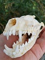 100%真実な頭蓋骨、動物の骨、1/3/8/20/すうりょう,狐の親骨 (20)