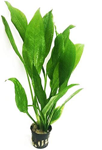 Echinodorus Bleheri | Amazon Sword Paniculatus Potted Live Aquarium Plants for Aquatic Freshwater Fish Tank by Greenpro