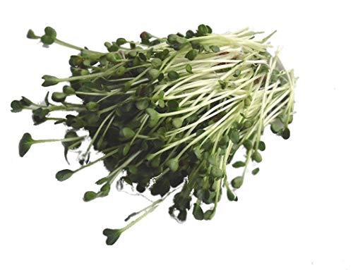 250 g BIO Keimsprossen Daikon-Rettich Samen für die Sprossenanzucht Sprossen Microgreen Mikrogrün