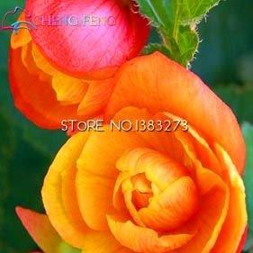 À bas prix Begonia 30pcs Graines Promotion rares Graines Fower Pour Garden Home * Jardin Flores Plantes d'intérieur chinois Bonsai Perennial Pot