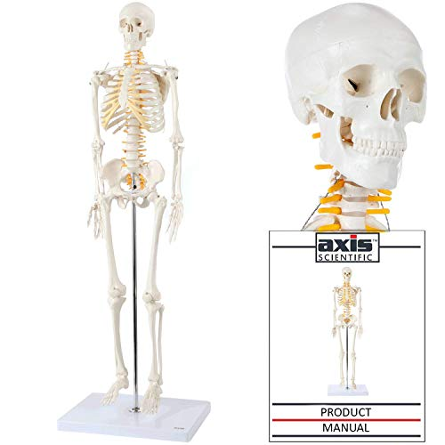 Axis Scientific Mini Human Skeleton Model with Metal Stand, 31