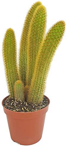 Fangblatt - Hildewintera aureispina - hängender Kaktus ideal für den Ampeltopf - pflegeleichte Zimmerpflanze und erstaunliche Sukkulente