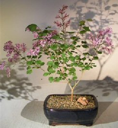 Bonsai Boy's Flowering Dwarf Korean Lilac Bonsai Tree syringa palabiniana