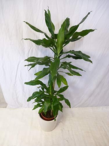 [Palmenlager] Dracaena steudneri 3er Tuff 130/140 cm // Drachenbaum/Zimmerpflanze