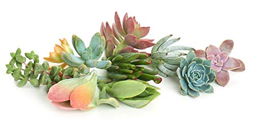 Assortment of Hand Selected Live Succulent Cutting, 10-Pack