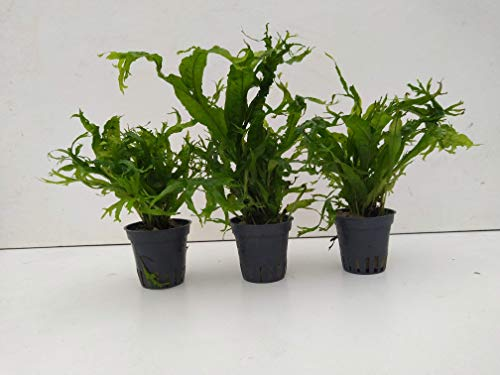 1Topf Microsorum pteropus - Javafarn Windelov Wasserpflanze Aquarium Barschbecke