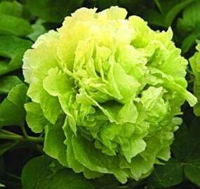 Neue Ankunft! Eine Vielzahl von Farben und seltene Chinesische Pfingstrose Samen Einpflanzen von Blumen und Garten Paeonia Suffruticosa Seeds 20 PCS G58 Grün