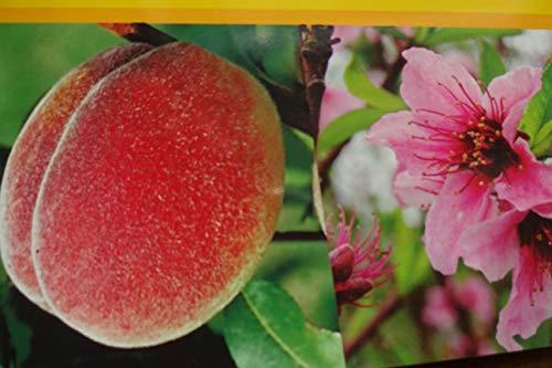Pfirsichbaum im großen Topf 50/70cm inkl Dünger Zwergobst Pfirsich Obst