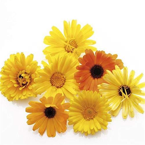 XINDUO Mehrjährig Blumen,Four Seasons Pot Calendula Seeds-100 Kapseln,Blüten Saatgut mehrjährig