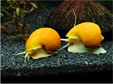 【淡水生物/貝/コケ対策】 ゴールデンアップルスネール ■サイズ:1cm-2.5cm (2個)