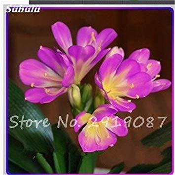 100 Stück Clivia Samen Günstige Clivia Blumen Mischung Farben Bonsai Balkon Blume für Hausgarten-bestes Geschenk für Kinder So Beautiful 14