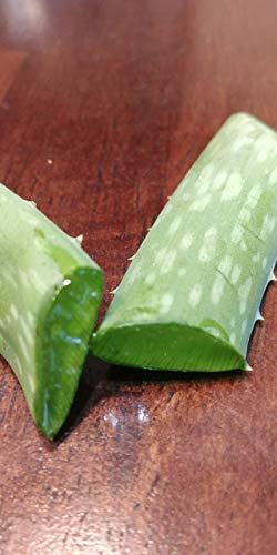 8 OZ Fresh Organisch gewachsen Aloe Vera Leaves