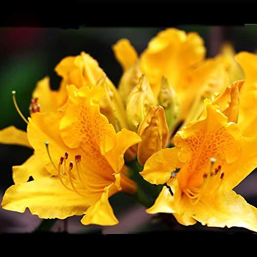 Raras semillas de azalea amarilla de bonsai se parece a las flores de cerezo japonesas de Sakura Sims semillas de flores de azalea 200 piezas