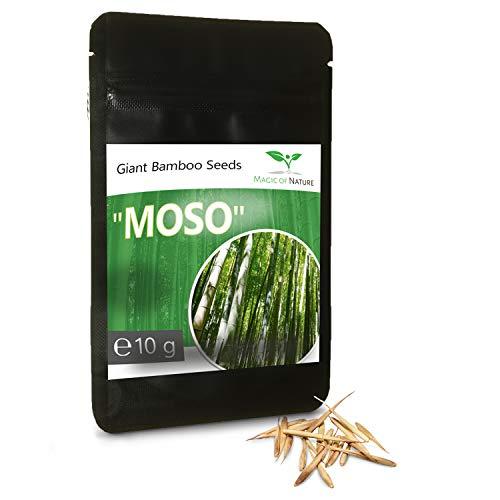 """10 Gramo BAMBÚ GIGANTE MOSO ca. 350 semillas - Phyllostachys pubescens - """"El rey de los bambúes"""""""