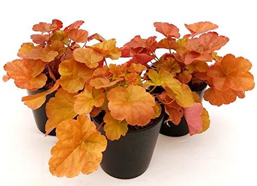 HEUCHERA orange 3 Pflanzen, echte Pflanzen