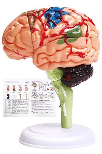 【医療従事者・推薦】脳模型 日本語説明書付き 脳モデル 人体模型 学習 脳トレ 図鑑
