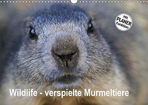 Wildlife - Verspielte Murmeltiere (Wandkalender 2021 DIN A3 quer)