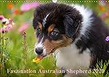 Australian Shepherd 2020 (Wandkalender 2020 DIN A3 quer)