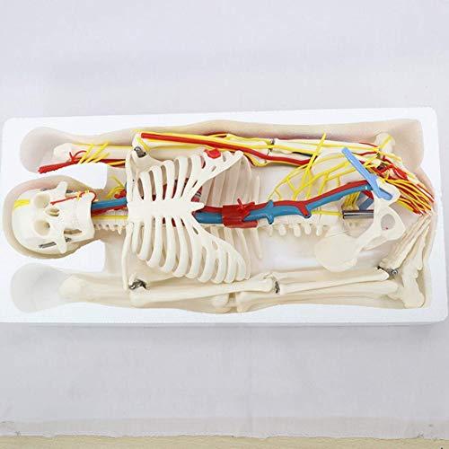 LBYLYH Modelo Educativo 85 cm Músculo esquelético Humano Inicio y Punta de Extremo Modelo de nervio Cuchillo de Aguja Modelo Modelo SO Humano