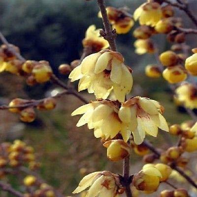 Stk - 5x Chimonanthus praecox Chinesische Winterblüte Pflanzen - Samen B929 - Seeds Plants Shop Samenbank Pfullingen Patrik Ipsa