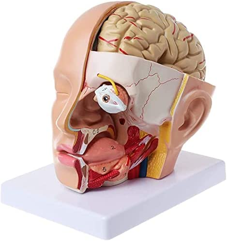 XJZHANG Human Head Anatomy Model Detachable Puzzl 12 Price reduction Cheap mail order shopping Parts