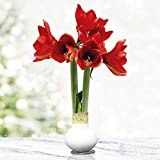 White Base Waxed Amaryllis Flower Bulb with Stand, No Water Needed