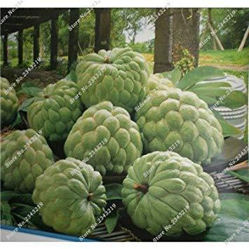 Fruit Seed Soursop Graviola Annona Samen Multi-Color Sweetsop Seed DIY Hausgarten-Topfpflanze Natur Wachstum 3 Stück 11