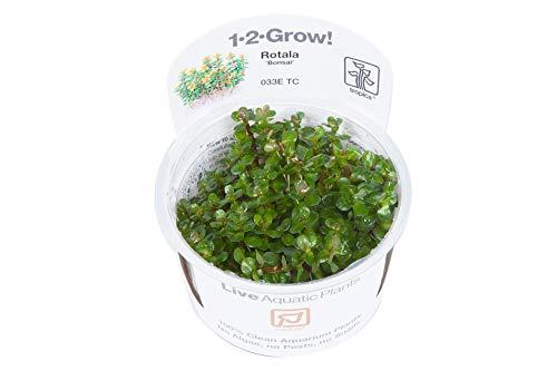 Tropica 1-2-Grow! Rotala Bonsai 1 Stück