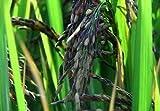 Alick 50 semillas de arroz negro aromático Oryza Sativa