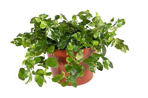 "Ficus Repens - 6"" from California Tropicals"