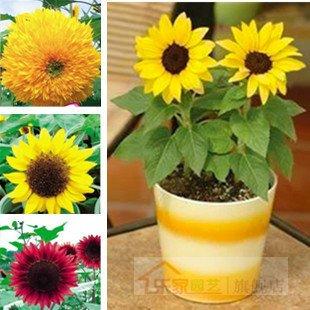 10 pcs vente chaude Seeds PINK Wisteria fleurs pour la maison jardin