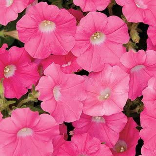 Shock Wave Rose Petunia Seeds Seed Pack