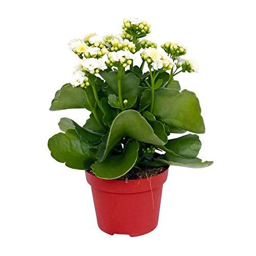 Pflanzen Kölle Flammendes Käthchen, Kalanchoe blossfeldiana 'Calandiva', weiß, Topf 12 cm, Höhe ca. 26 cm