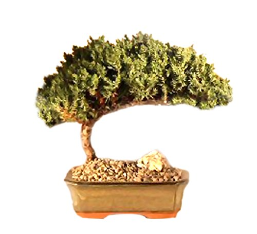 Bonsaiboy Juniper Bonsai Tree - Medium Juniper Procumbens Nana