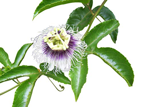Echte Passionsblume (Maracuja Passionsfrucht) 10 Samen (Passiflora edulis f. flavicarpa)