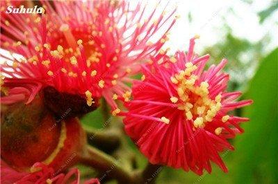 100 Pcs/Sac Rare Eucalyptus arc-en-floraison Graines, Graines Arbre tropical, Eucalyptus plantes pour jardin d'ornement Bonsai 13