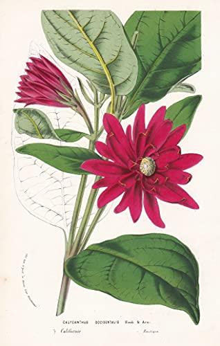 Calycanthus Occidentalis - California Blume flower flowers Blume Botanik botanical botany