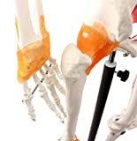 Zoom IMG-2 cranstein e 125 scheletro 175cm