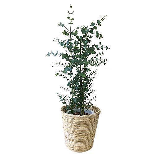 ユーカリ・グニー 中型8号 鉢植え 鉢カバー付き(鉢カバーC)